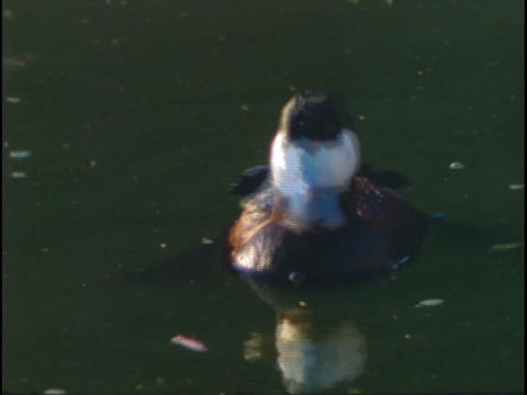 A Ruddy duck swims and dives in a lake Footage