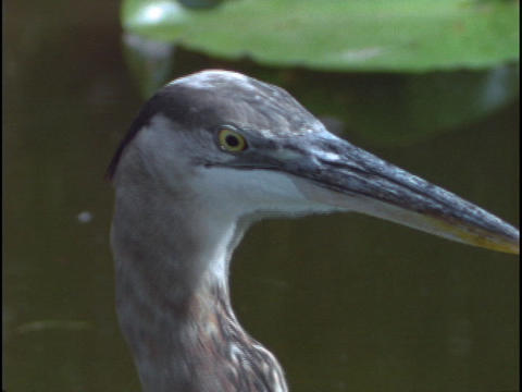 A Great Blue Heron eats a fish in Florida's Everglades National Park Footage