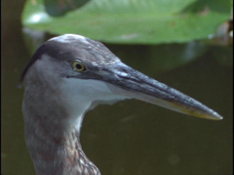 A Great Blue Heron eats a fish in Florida's Everglades... Stock Video Footage