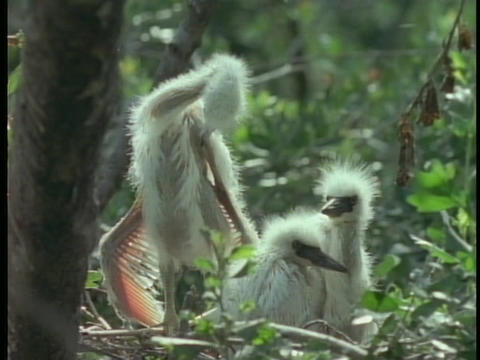 Egret chicks sit and stand in their nest in Florida's... Stock Video Footage