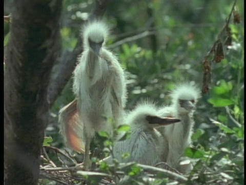 Egret chicks sit and stand in their nest in Florida's Everglades Live Action