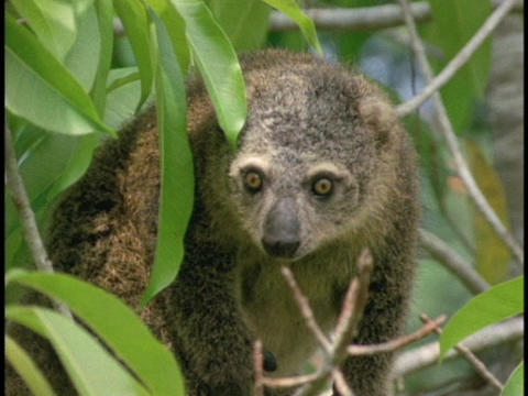 A Bear Cuscus walks along a tree limb in Borneo, Indonesia Stock Video Footage