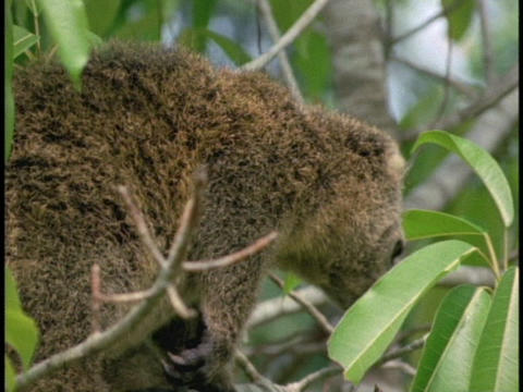 A Bear Cuscus walks along a tree limb in Borneo, Indonesia Stock Video Footage