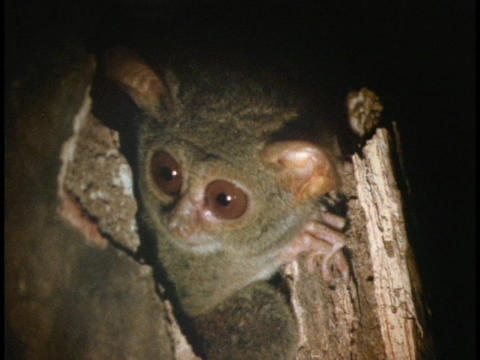 A spectral tarsier peeks out of a tree stump in Indonesia Stock Video Footage