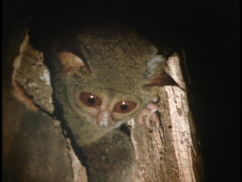 A spectral tarsier peeks out of a tree stump in Indonesia Footage