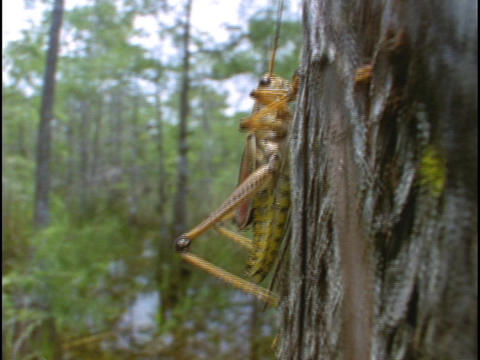 A Lubber grasshopper crawls up a tree in Florida's... Stock Video Footage