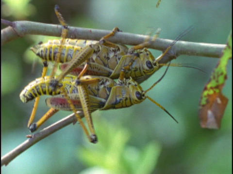 Grasshoppers mate Stock Video Footage