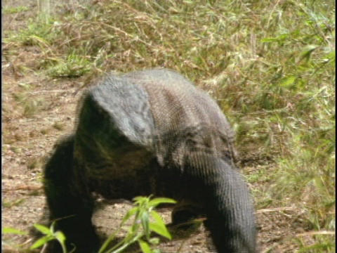 A Komodo dragon walks along a trail in Indonesia Stock Video Footage