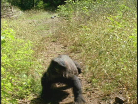 A Komodo dragon walks along a trail in Indonesia Footage