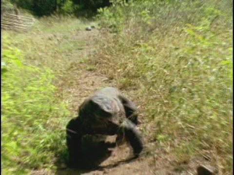 A Komodo dragon walks along a trail in Indonesia Live Action