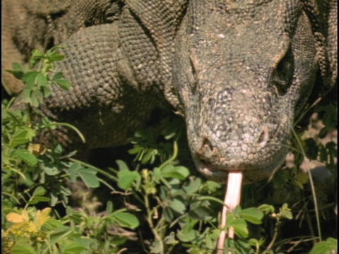 A Komodo dragon walks and sticks its tongue out Stock Video Footage