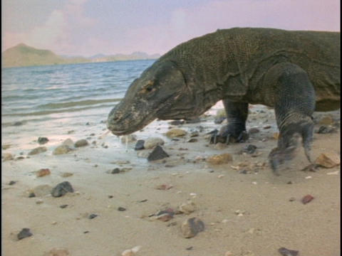 A Komodo dragon investigates a beach Stock Video Footage