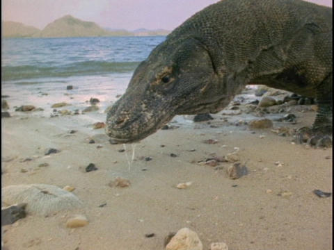 A Komodo dragon investigates a beach Live Action