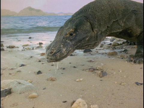 A Komodo dragon investigates a beach Footage