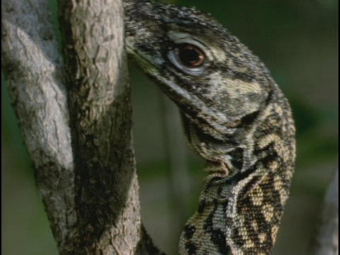 A lizard clings to a tree Stock Video Footage