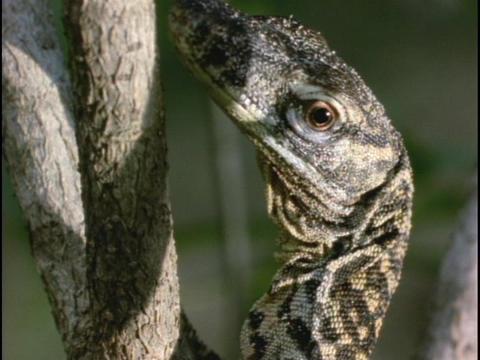 A lizard clings to a tree Footage