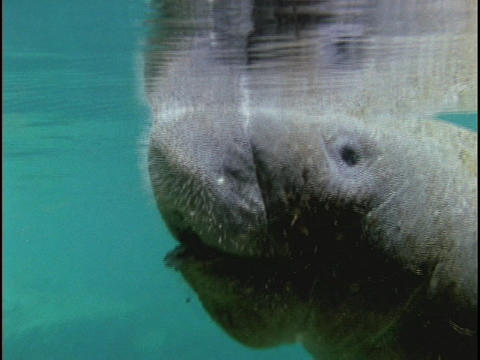 A manatee floats in the ocean Stock Video Footage