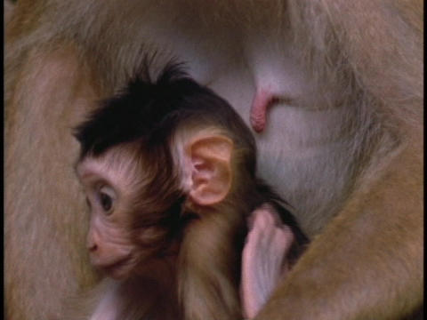 A baby macaque sits against its mother's chest Stock Video Footage
