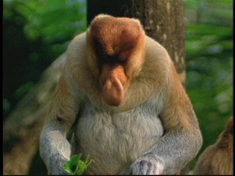 A proboscis monkey eats leaves in the Borneo, Indonesia... Stock Video Footage