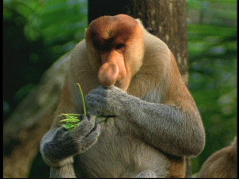 A proboscis monkey eats leaves in the Borneo, Indonesia... Stock Video Footage