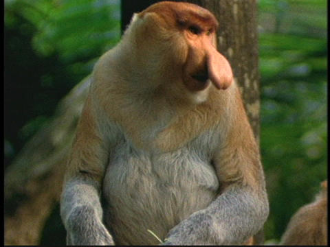 A proboscis monkey eats leaves in the Borneo, Indonesia jungle Footage