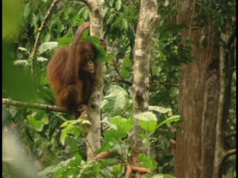 An orangutan sits in a jungle tree and covers its head... Stock Video Footage