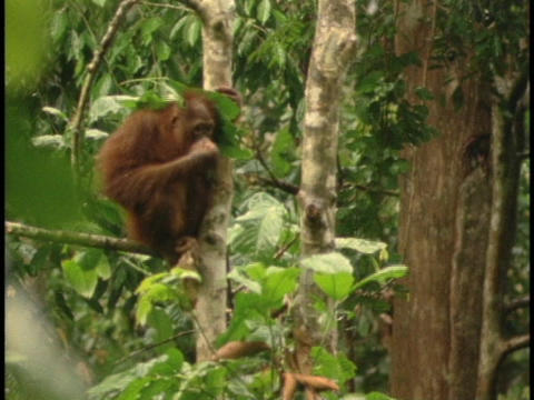 An orangutan sits in a jungle tree and covers its head with leaves Footage