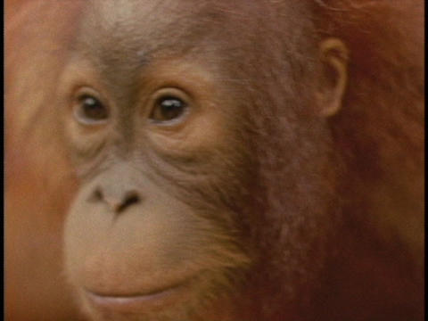 An orangutan looks around Stock Video Footage