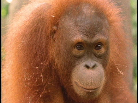 An orangutan looks around Footage
