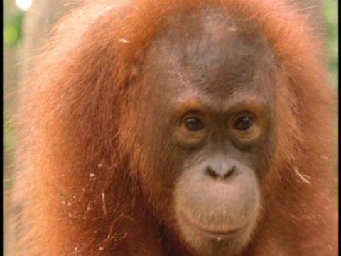 An orangutan looks around Stock Video Footage