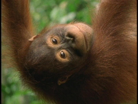 An orangutan hangs upside down and smiles Footage