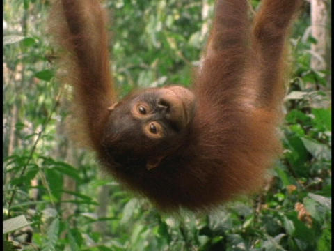 An orangutan hangs upside down and smiles Stock Video Footage