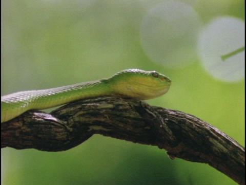 Green snake slithers over a twisted branch Stock Video Footage