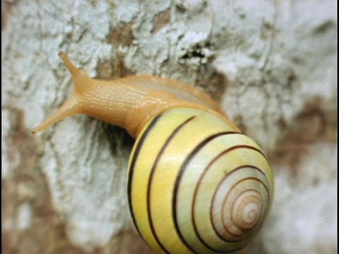 A ringed tree snail crawls on a tree Stock Video Footage