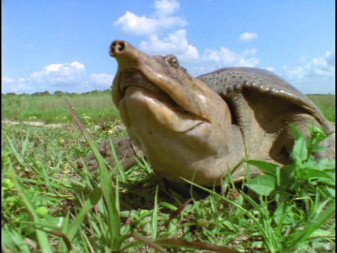 A softshell turtle sniffs the air Stock Video Footage