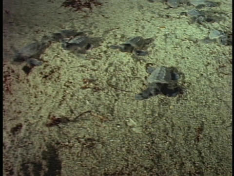 Baby turtles crawling on a beach Stock Video Footage