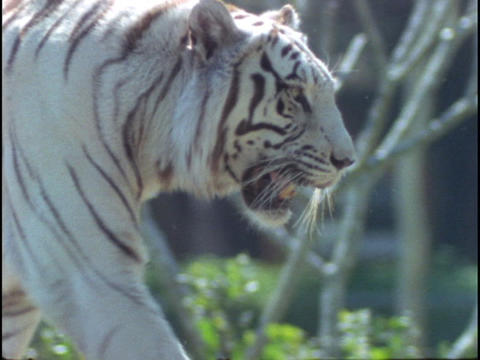 A white tiger walks in a zoo enclosure Stock Video Footage