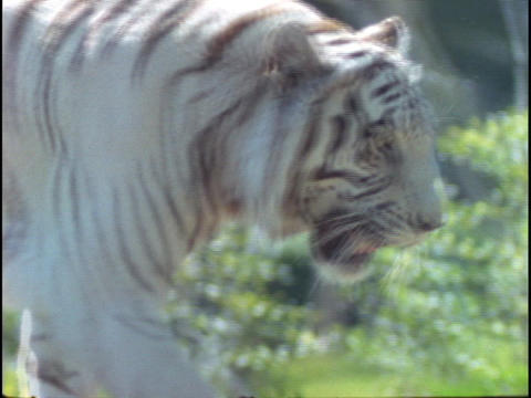 A white tiger walks in a zoo enclosure Footage
