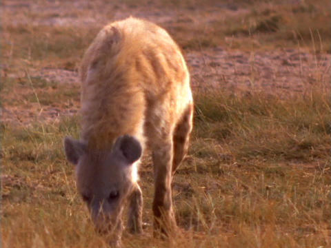 A hyena investigates an African plain Stock Video Footage