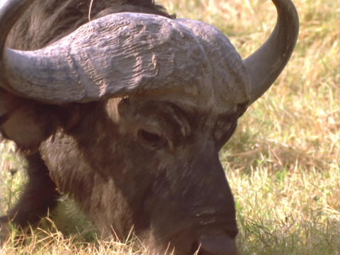 A water buffalo grazes in Africa Stock Video Footage