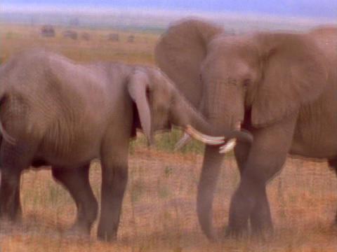 Elephants spar on the African plains Stock Video Footage