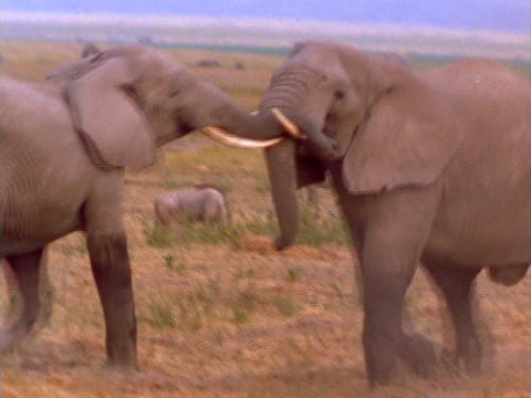 Elephants spar on the African plains Stock Video Footage