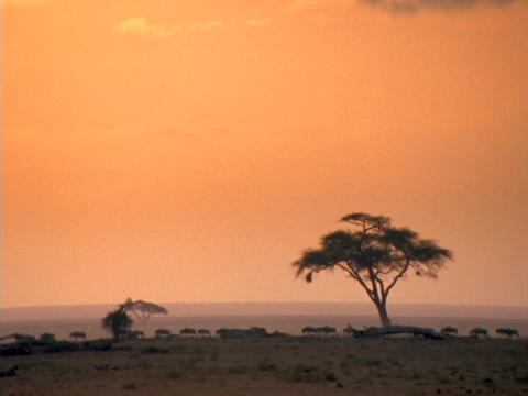 Wildebeests walk across the African savannas Footage
