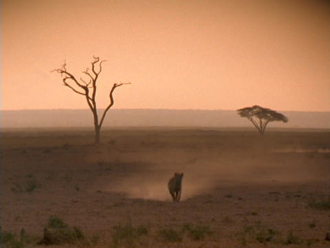 A lion runs across the African savannas Footage