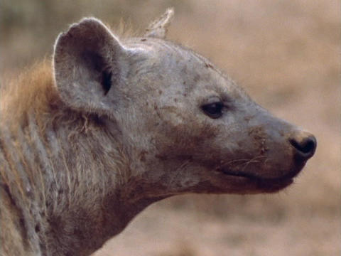 A hyena surveys its surroundings Stock Video Footage