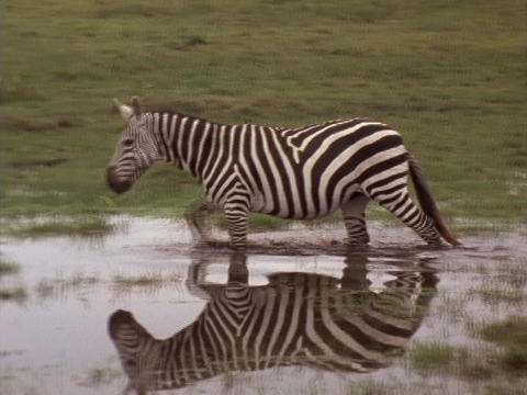 A zebra walks through a pond in Kenya Stock Video Footage