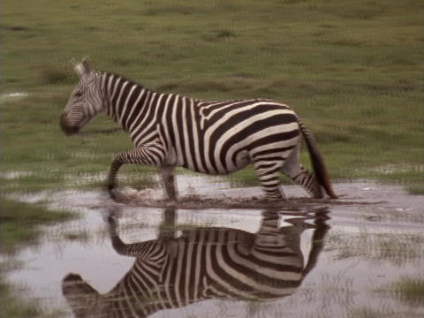 A zebra walks through a pond in Kenya Stock Video Footage