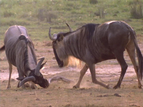 Wildebeests rub their heads in dirt Live Action