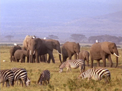 Elephants and zebras graze in Kenya, Africa Stock Video Footage