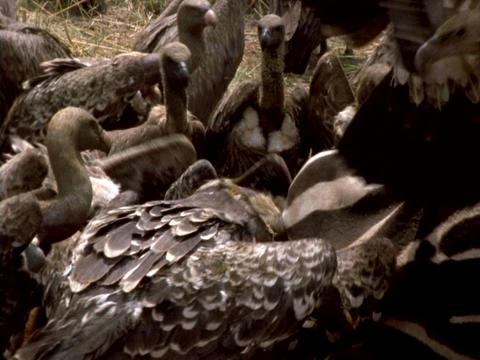 Vultures feed on a zebra carcass in Africa Stock Video Footage